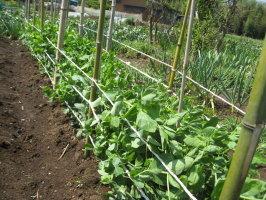 栽培 エンドウ なし つる スナップ